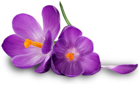 free purple flower png download #6208 free icons and png