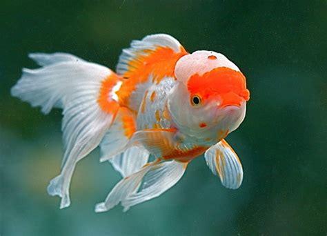 Pompa Aquarium Yang Kencang 40 jenis ikan hias air tawar yang banyak dipelihara di