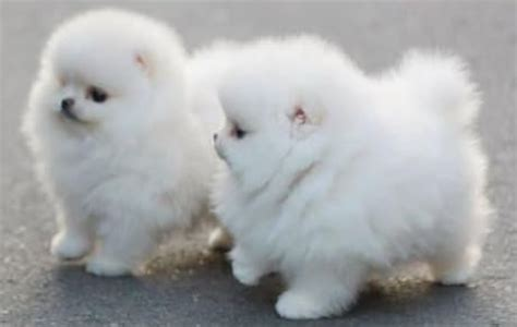 white fluffy pomeranian puppies fluffy white pomeranian puppies pictures photos and images for