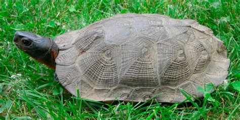 ficha de cuidados tortuga lagarto o mordedora tortuga mordedora cuidados tortuga del bosque