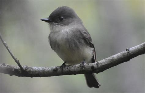 Small Gray Birds Unlimited October 2012