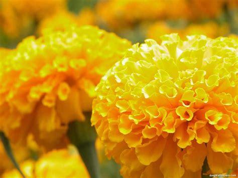 Yellow Marigold yellow marigolds wallpaper