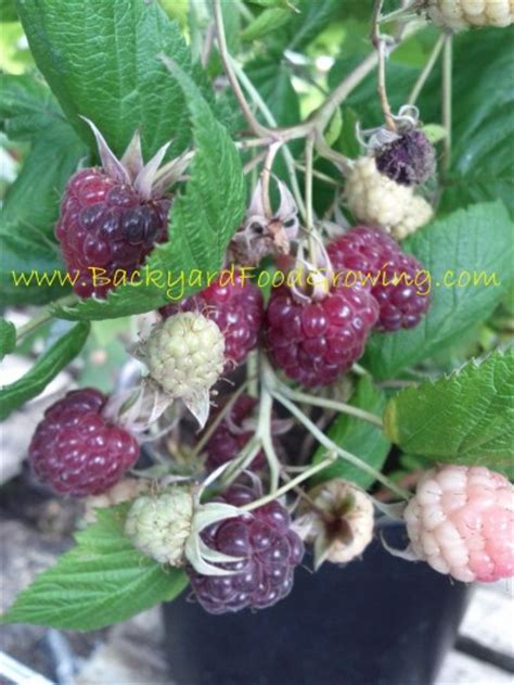 container gardening raspberries how to grow raspberries in containers backyard food growing