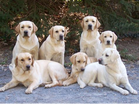 how many puppies do labs 16 reasons labradors are not the friendly dogs everyone says they are