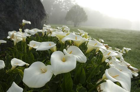 how to grow the arum lily from seed the garden of eaden