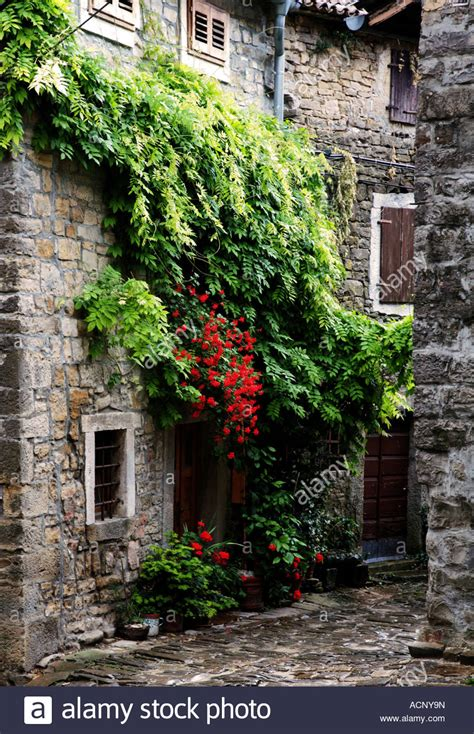 climbing plants for front of house climbing plants on front of house in groznjan istria