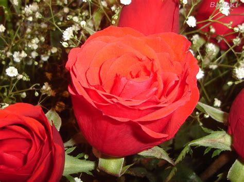imagenes de lindas rosas rosas hermosas de amor auto design tech