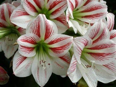 Sulap Five In One Flower lirio blanco rayado quot ostentaci 243 n quot lirios blancos y rojos lenguaje flores
