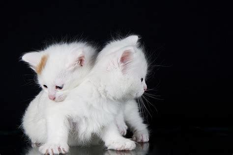 Vans Kitten the turkish cat cat breeds encyclopedia