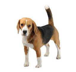 beagle breeds purina