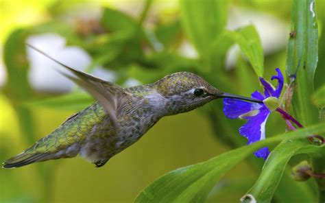 hummingbirds  blue flower wallpaper hd  wallpaperscom
