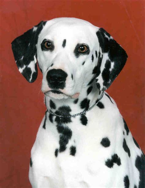 Dalmatian Shedding by Dalmatian Breed Information Puppies Pictures