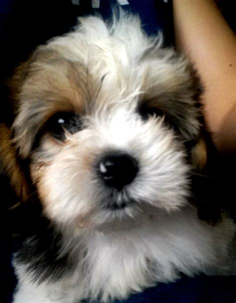 puppies to adopt cavachon puppies to adopt quotes