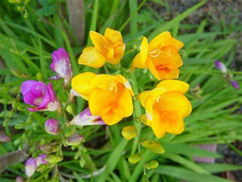 fresie fiori fresia freesia