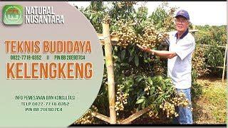 Bibit Kelengkeng Pingpong Yogyakarta tips cara mudah budidaya kelengkeng paling tepat