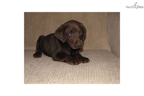 free lab puppies chocolate lab puppies for sale in manchester breeds picture