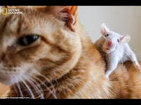 cat and cat and rat friendship