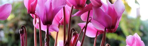 cura ciclamino in vaso le bulbose ciclamino cyclamen coltivazione e cura