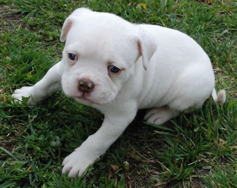 american bull puppies american bulldog white puppy photo and wallpaper beautiful american bulldog