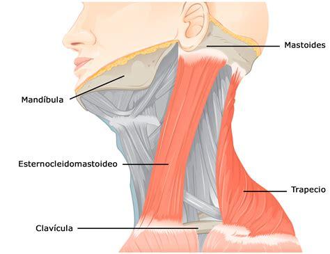 cuales son las cadenas musculares pdf sistema muscular wikiwand