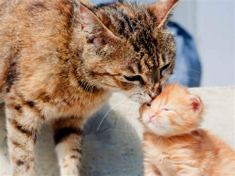 Dan Makanan Anak Kucing mengapa induk kucing membunuh anaknya sendiri kucing gue