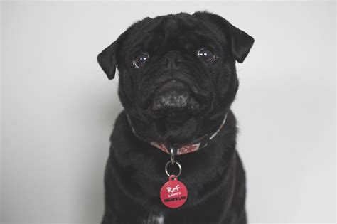 pug collars the importance of id tags collars for pugs the pug diary
