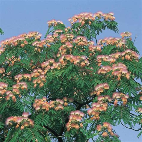Most Beautiful Flowering Shrubs - albizia julibrissin rosea tall shrubs amp trees 2 5m shrubs by size shrubs