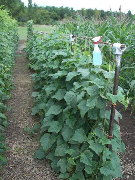 top  tips  growing cucumbers   home garden page