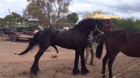 caballos sementales cuarto milla j cuevas friesian con cuarto de milla