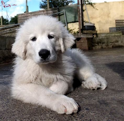 pyrenean mountain puppies pyrenean mountain puppies ready now kidwelly carmarthenshire pets4homes