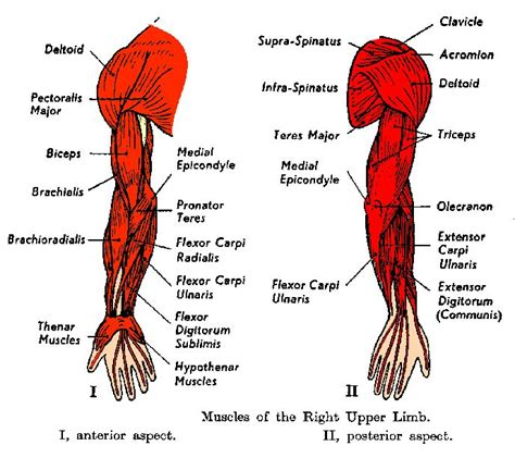 arm workouts  great exercises  grow  biceps