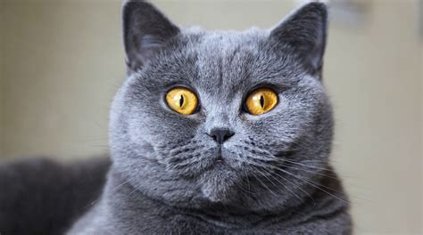 British Shorthair Cats: 5 Things to Know About This Breed