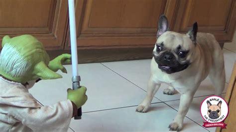 pugs vs new pugs bulldog vs yoda frenchie apple pug chihuahua gus chug fight legendary