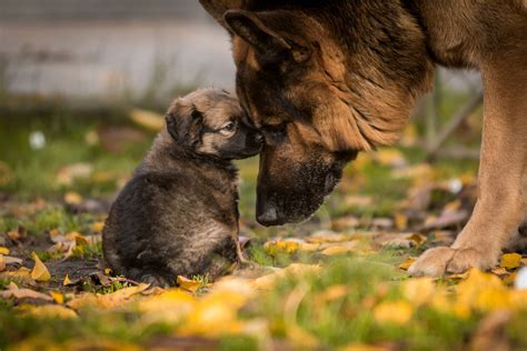 how do german shepherds live how do german shepherds live mysweetpuppy net