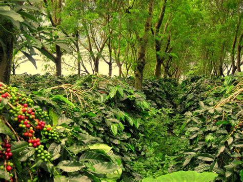 kopi indonesia produksi kopi terbesar keempat  dunia