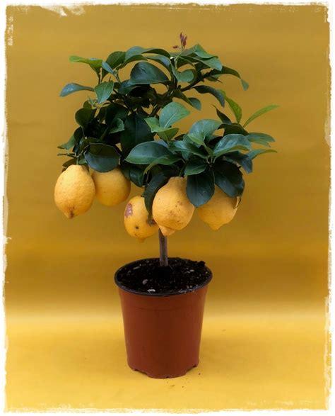 limone vaso limone citrus limon vendita piante