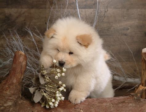 mini chow chow puppies omg it s like a mini chow chow mix coton puppies
