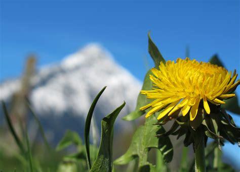 fiori dente di fiori di montagna dente di montagna estate