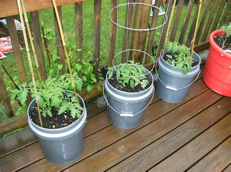 Container Gardening Tomatoes by Fertilizers Growing Tomatoes In Containers 1375 Hostelgarden Net