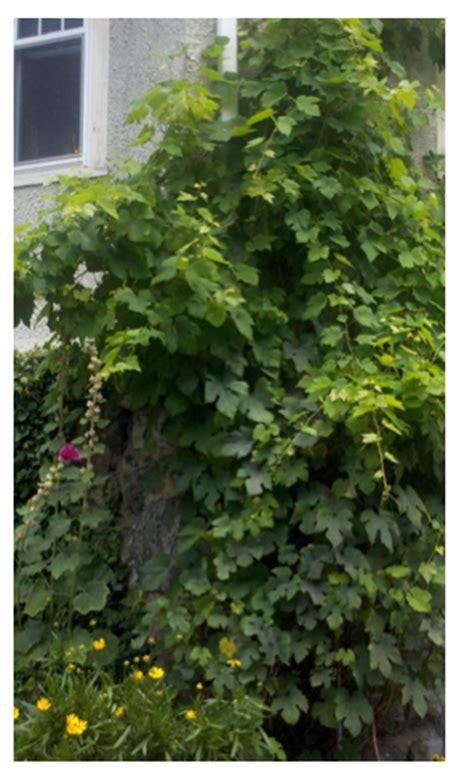 backyard grape vine pick and preserve grape leaves