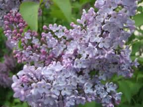 lilac file stockholm lilac jpg wikipedia