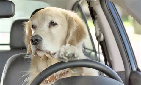 golden retriever driving best cars for pet owners autopten