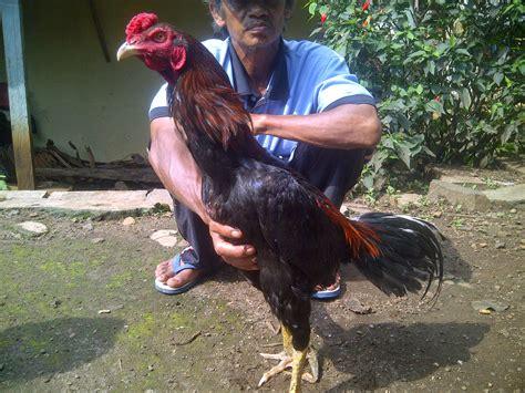 Anakan Ayam Laga ciri ciri ayam pukul ko animegue