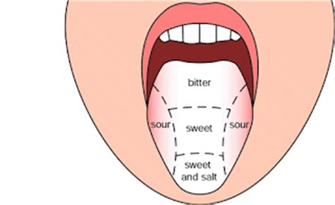 taste sections of the tongue human anatomy 4c