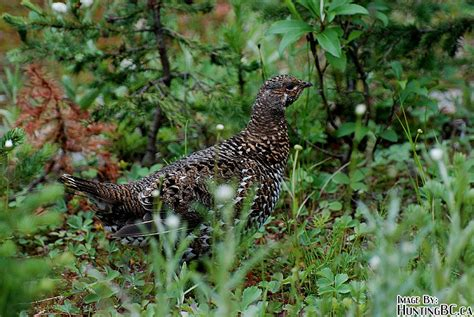 top 28 types of grouse in bc dusky grouse audubon