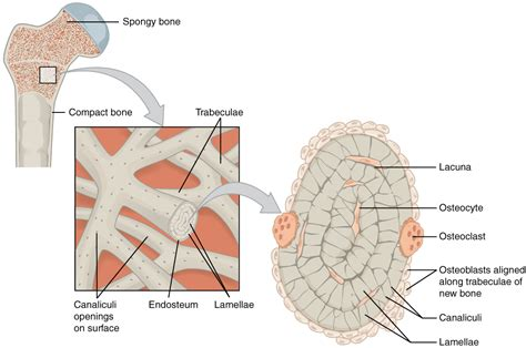 osseous tissue diagram cortical bone and cancellous bone bone and spine