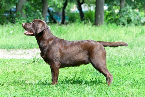 chocolate lab puppies information chocolate labrador retriever facts labrador hq