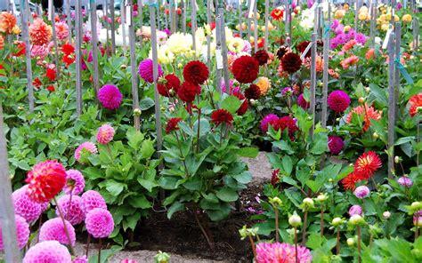 Hd Dahlia Garden Wallpaper Download Free 139638 Dahlia Flower Garden