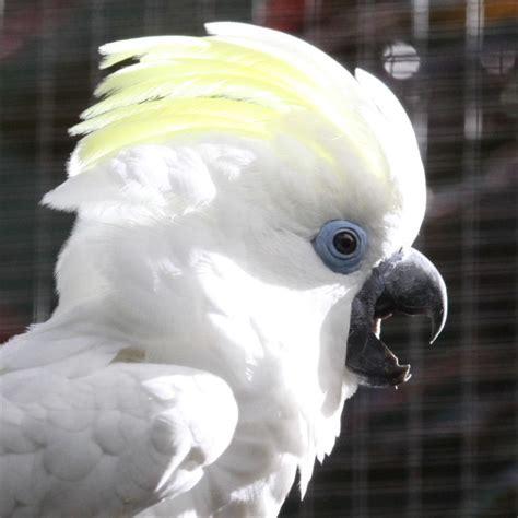 blue eyed names blue eyed cockatoo