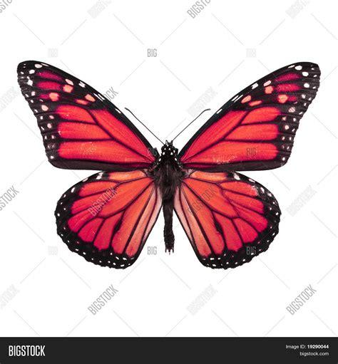 imagenes mariposas rojas imagen y foto mariposa roja brillante aislado bigstock